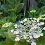 ジメジメした季節、ブロッコリーだかカリフラワー的なやつが咲き始めたよと