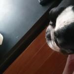 うちの犬、梨がすきなんですよ。