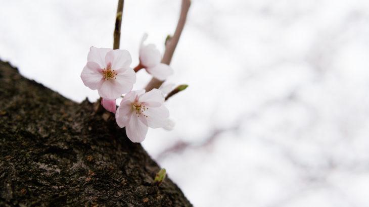 平日だし曇りだしで、あんまり人いないから桜並木で散歩